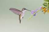 Black-Chinned Hummingbird Female Feeding at Flowers, Texas, USA Photographic Print by Larry Ditto