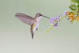 Black-Chinned Hummingbird Female Feeding at Flowers, Texas, USA Lámina fotográfica por Larry Ditto