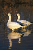 Geese Standing in Pool, Bosque Del Apache National Wildlife Refuge, New Mexico, USA Photographic Print by Hugh Rose