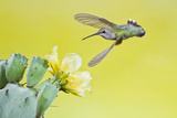 Black-Chinned Hummingbird Female Feeding at Prickly Pear Cactus Flowers, Texas, USA Photographic Print by Larry Ditto