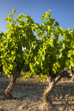 Vineyard, Mature Grapevines Near Roussillon, Provence, France Photographic Print by Brian Jannsen