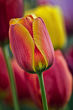 Close-Up of Tulip Flowers, Winterthur Gardens, Delaware, USA Photographic Print