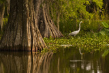 Bald Cypress and Great Egret in Swamp, Lake Martin, Louisiana, USA Photographic Print
