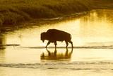 Bison Wildlife Crossing Little Missouri River, Theodore Roosevelt National Park, North Dakota, USA Photographie par Chuck Haney