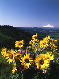 View of Blue-Pod Lupine and Arrowleaf Balsamroot Flower, Mt Hood, Oregon, USA Photographic Print by Stuart Westmorland