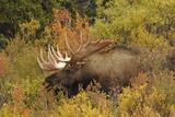 Bull Moose Wildlife, Denali National Park, Alaska, USA Photographic Print by Michel Hersen