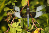Male Widow Skimmer Bird, Freeway Ponds Park, Albany, Oregon, USA Photographic Print by Rick A. Brown