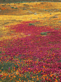 Owl's Clover, Coreopsis, California Poppy Flowers at Antelope Valley, California, USA Photographic Print by Stuart Westmorland