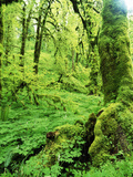 View of Lush Trees at Silver Falls State Park, Oregon, USA Photographic Print by Stuart Westmorland