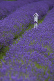 Farm Birdhouse with Rows of Lavender at Lavender Festival, Sequim, Washington, USA Photographic Print by John & Lisa Merrill