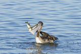 Brown Pelican Bird Eating Mullet in Laguna Madre, Texas, USA Photographic Print by Larry Ditto