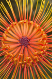 Protea Flower, Kula Botanical Garden, Upcountry, Maui, Hawaii, USA Photographic Print by Douglas Peebles