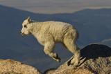 Mountain Goat Kid Jumping, Wildlife, Mount Evans, Colorado, USA Photographic Print