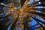 View of Aspen Trees Looking into Sky, Alaska, USA Photographic Print by Terry Eggers
