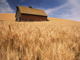 View of Barn Surrounded with Wheat Field, Palouse, Washington State, USA Photographic Print by Stuart Westmorland