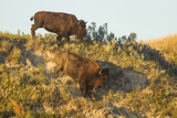 Bison Wildlife on Embankment, Theodore Roosevelt National Park, North Dakota, USA Photographic Print by Chuck Haney