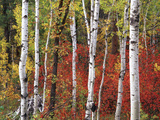 Trees in Autumn, Black Hill Area, Custer State Park, South Dakota, USA Photographic Print by Walter Bibikow