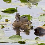 Wood Ducks, Female and Duckling Wildlife, Juanita Bay Wetland, Washington, USA Photographic Print by Jamie & Judy Wild
