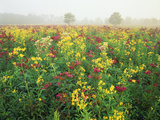 Late Summer Field of Ironweed, Sneezeweed and Yarrow Flower, Kentucky, USA Photographic Print by Adam Jones