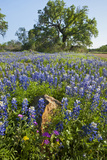 Texas Bluebonnet Flowers in Bloom, Central Texas, USA Photographic Print by Larry Ditto