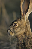 Black-Tailed Jackrabbit Wildlife, USA Photographic Print by Gerry Reynolds