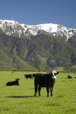 Cows, Kaikoura, Seaward Kaikoura Ranges, Marlborough, South Island, New Zealand Photographic Print by David Wall