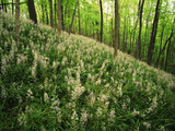 Raven Run Nature Sanctuary, Hillside of Wild Hyacinth, Lexington, Kentucky, USA Photographic Print by Adam Jones
