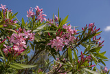 Oleander, New Smyrna Beach, Florida, USA Photographic Print by Lisa S. Engelbrecht