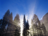 Sunlight Through Pine Forest in Yosemite Valley, Yosemite National Park, California, USA Photographic Print by Adam Jones