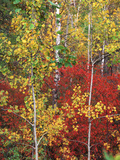 Autumn Trees, Custer State Park, South Dakota, USA Photographic Print by Walter Bibikow