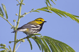 Black-Throated Green Warbler, Bird, Male Perched Photographic Print by Larry Ditto