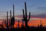 Saguaro Forest, Sonoran Desert, Saguaro National Park, Arizona, USA Photographic Print