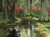 View of Azaleas and Cypresses Magnolia Plantation, Charleston, South Carolina, USA Photographic Print by Adam Jones