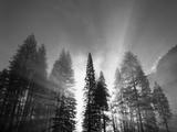 Sunlight Through Pine Forest in Yosemite Valley, Yosemite National Park, California, USA Fotodruck von Adam Jones