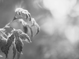 View of Frost Japanese Maple Leaf, Winter, Oregon, USA Photographic Print by Stuart Westmorland