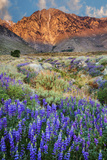 Blooming Lupine at Division Creek, Independence, California, USA Photographic Print