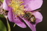 Honey Bee Insect on a Wild Rose, Freeway Ponds Park, Albany, Oregon, USA Photographic Print by Rick A. Brown