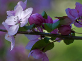 Close-Up of Azalea Flowers and Buds, Winterthur Gardens, Delaware, USA Photographic Print