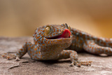 Close-Up of Tokay Gecko Lizard on Rock, North Carolina, USA Photographic Print