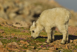 Mountain Goats, Mount Evans, Colorado, USA Photographic Print