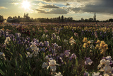 Iris Production Field at Sunset, Schreiner's Iris Gardens, Keizer, Oregon, USA Photographic Print by Rick A. Brown