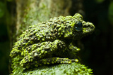 Denver Zoo, Close-Up of Mossy Frog, Colorado, USA Photographic Print