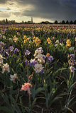 Iris Production Field at Sunset, Schreiner's Iris Gardens, Keizer, Oregon, USA Lámina fotográfica por Rick A. Brown