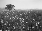 Field of Cosmos Flower, Union, Kentucky, USA Photographic Print by Adam Jones
