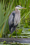Great Blue Heron Bird, Juanita Bay Wetland, Washington, USA Photographic Print by Jamie & Judy Wild