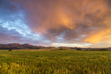 Clouds over Mid-Growth Wheat Field, Tobacco Root Mountains, Ennis, Montana, USA Stampa fotografica di Chuck Haney
