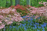 Blooming Azaleas and Bluebell Flowers, Winterthur Gardens, Delaware, USA Photographic Print