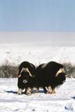 Musk Ox Bull Wildlife, Arctic National Wildlife Refuge, Alaska, USA Fotografisk trykk av Hugh Rose