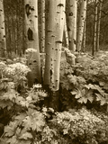 Aspen Trees and Cow Parsnip in White River National Forest, Colorado, USA Photographic Print by Adam Jones
