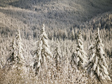 View of Frost Trees at Mt Hood, Mt Hood National Forest, Oregon, USA Photographic Print by Stuart Westmorland